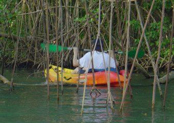 Sortie kayak en mangrove, Guadeloupe