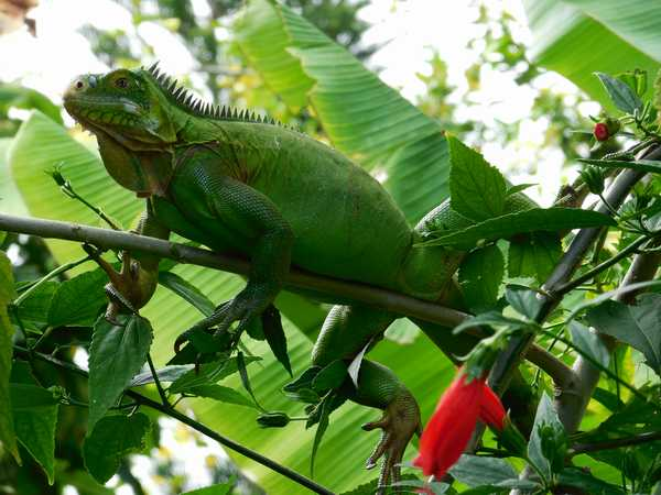 A green iguana in the garden banana trees