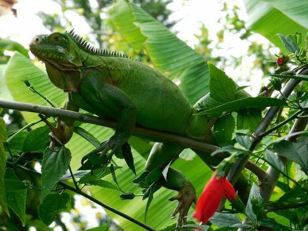 A Lamatéliane, iguane vert dans les bananiers du jardin.